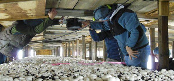 mushroom کنترل عوامل محیطی در پرورش قارچ