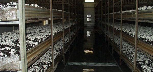 سرمایش گرمایش سالن پرورش قارچ