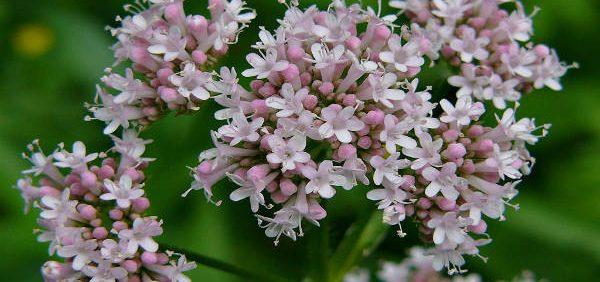 valerian_plant_valeriana-officinalis سنبلالطیب