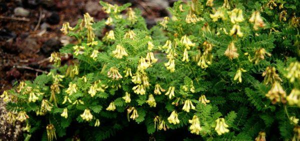astragalus-herb گون
